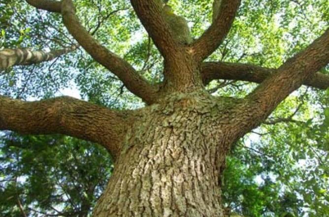 厳島神社の大鳥居に使用されている木材は「楠木(クスの木)」です。