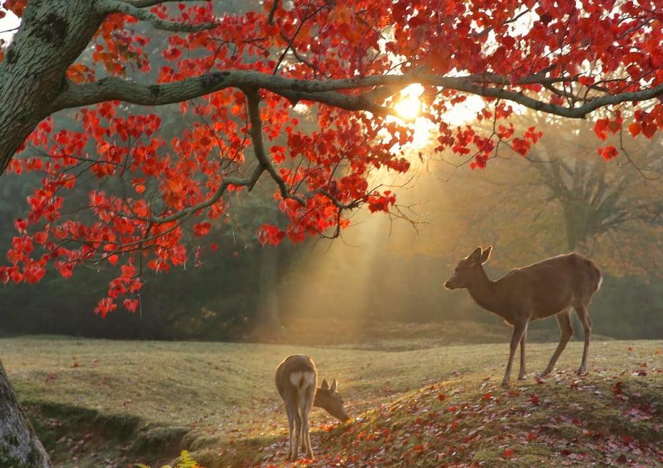 「秋の厳島神社=鹿」と